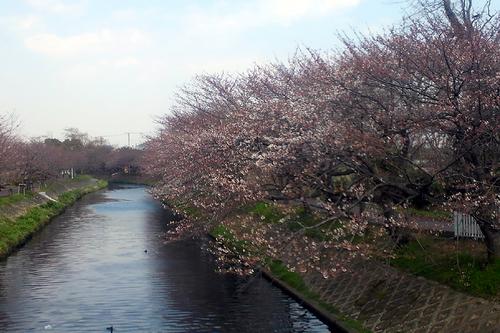 海老川桜 005-3.jpg