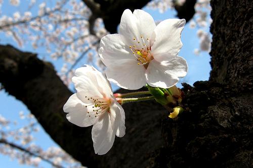 海老川桜② 025-3.jpg