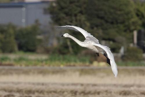 003'09白鳥① 011-2.jpg