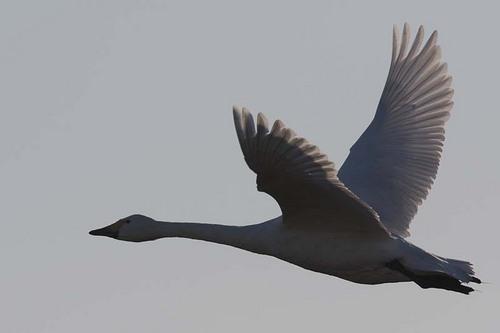 004'09白鳥① 042-2.jpg