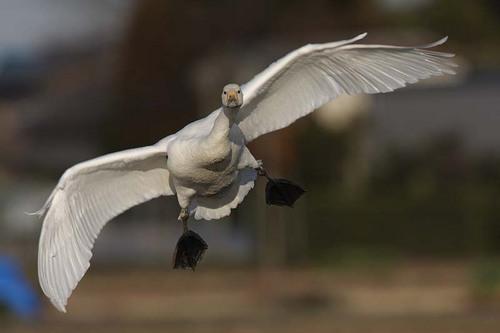 005'09白鳥① 062-2.jpg