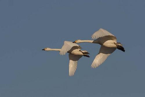 008'09白鳥① 141-2.jpg
