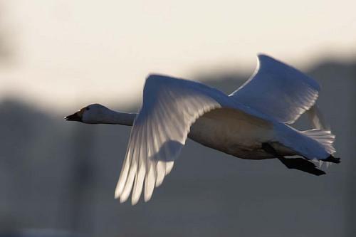 012'09白鳥① 239-2.jpg